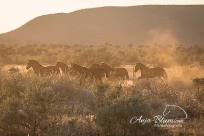 Herde im Sonnenaufgang Namibia