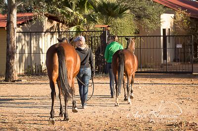 Pferde holen Namibia