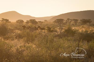 Pferdeherde im Sonnenaufgang Namibia
