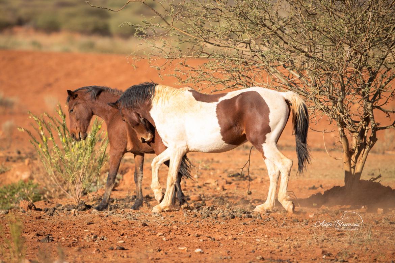 Wildpferde in Namibia, Kampf der Hengst, Pferdefotogrfaie
