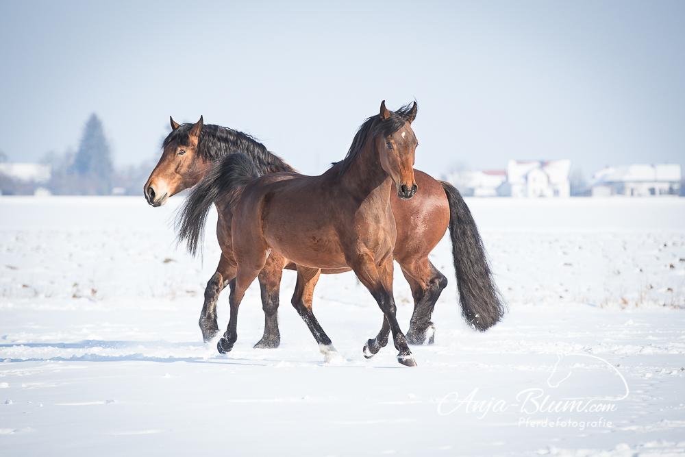 Kaltblut ud Araberpferd im Schnee